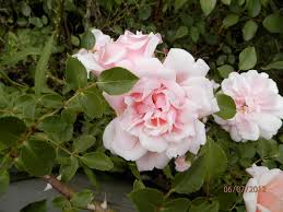 climbing and rambler roses sold in albany county ny by azalea