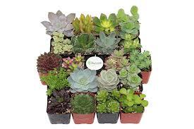 amazon com shop succulents unique succulent collection of 20