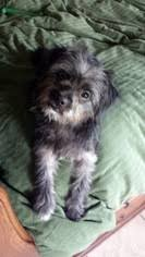 affenpinscher hawaii view ad affen tzu dog for adoption texas alvin usa