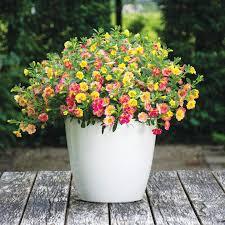 flower plants calibrachoa plants chameleon all flower plants flower plants