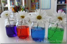 science experiment u0026 colored flowers confessions of a homeschooler