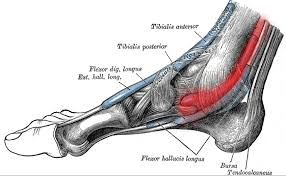 Foot Tendons Anatomy 4 Ways To Prevent And Treat Posterior Tibial Tendon Pain Runners