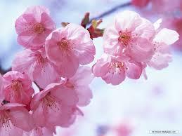 free wallpaper free flower wallpaper cherry blossom wallpaper