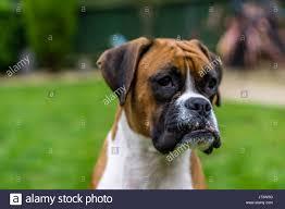 boxer dog white boxer dog red and white stock photo royalty free image 142071008