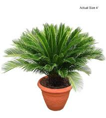 buy bonsai trees sago palm tree cycas revoluta buy at the palm