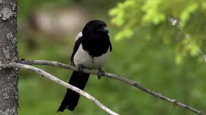 imagenes del animal urraca urraca sentarse bosque hd stock video 631 819 804 framepool