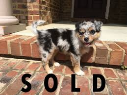 australian shepherd puppies near me view ad miniature australian shepherd puppy for sale alabama
