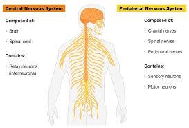 central nervous system u2013 defenderauto info
