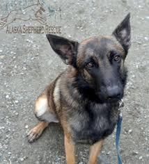 belgian sheepdog rescue groups luc adopt belgian shepherd malinois luc in anchorage ak today