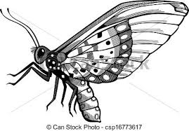 vector illustration of an acraea cepheus butterfly with vector