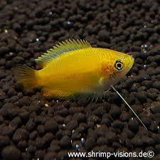 Buy Ornamental Fish Honiggurami Gold Trichogaster Chuna Buy Ornamental Fish