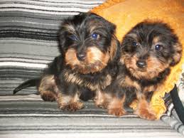 Black And Tan Beagles 15 Awesome Dachshund Mixes You Won U0027t Believe Are Real