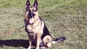 belgian shepherd easy to train how to train a german shepherd to be a guard dog petcarerx