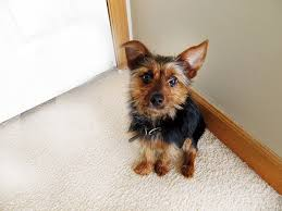 australian shepherd yorkshire terrier mix yorkie pin min pin yorkie mix info temperament puppies pictures