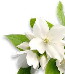 Jasmine Tea Flowers - 2 tang tea our products