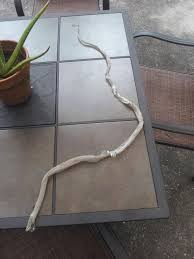 Found A Snake In My Backyard Found This Decent Sized Snake Skin In My Backyard Maybe I U0027ll Find