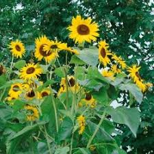sunflower seeds king kong f1 marshalls seeds