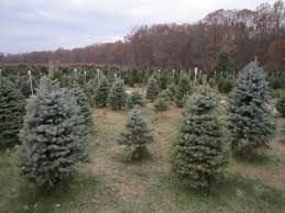 christmas christmas tree farms near me for sale medford nj