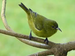 Hawaii birds images Birds of hawaii fringillid finches jpg