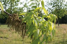 growing pecans in carolina nc state extension publications