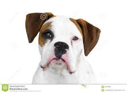 boxer dog white boxer dog stock photo image 69162683