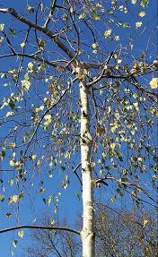 trees with ornamental bark for uk gardens silver birch acer griseum