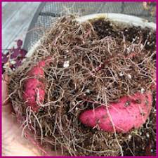 growing and propagating ornamental sweet potatoes save them for