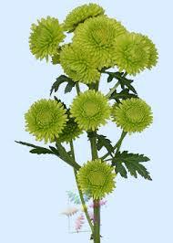 Flowers Information - chrysanthemum flower information chrysanthemum cut flower