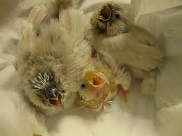 post pictures of your hand raised finches backyard chickens