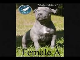american pitbull terrier puppies for sale uk best largest biggest top quality blue xxl bully pitbull puppies