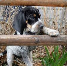bluetick coonhound in florida bluetick coonhound breed information