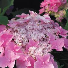 flower hydrangea hydrangea let s starlight from wayside gardens