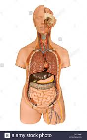 Pictures Of The Human Body Internal Organs Anatomical Model Of The Internal Organs Of The Human Body Used In