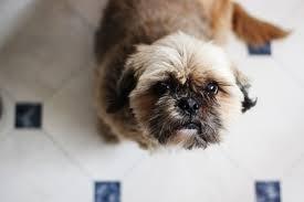 chien cuisine images gratuites lumière sol chiot marron cuisine les yeux