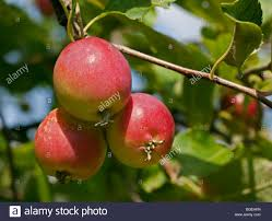 malus dartmouth fruit ornamental crab apple stock photo royalty