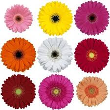 gerbera daisies happy gerbera collection bridal flowers to go