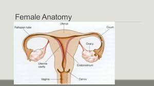 Images Female Anatomy Why Is It Important To Learn About Male And Female Anatomy Ppt