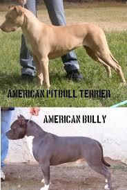 american pitbull terrier jaw 24 best pitbull terrier images on pinterest pitt bulls animals