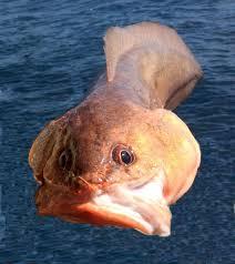 cusk eel family photos and information u2013 ophidiidae mexico