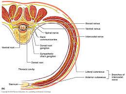 Visceral Somatic Reflex Ch 12 Spinal Nerves