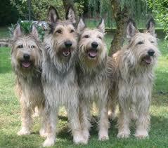 belgian shepherd vs husky saved by dogs continental shepherds french