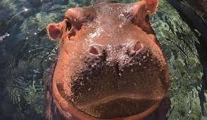 si e social hippopotamus baby hippo fiona april the giraffe and bao bao the panda here s