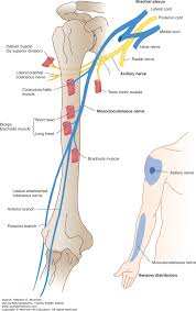 Nerve Map Spinal Nerves And Plexuses Clinical Neuroanatomy 28e
