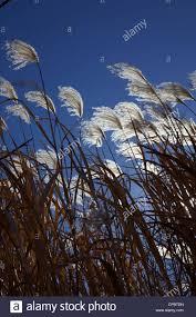 dried ornamental grass usa kansas city stock photo royalty free