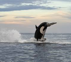 eight ton orca leaps 15ft into the air to finally capture dolphin