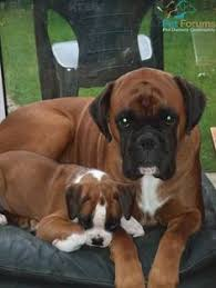boxer dog mean oscar u0026 bruno our boxer dogs who are half brothers looking very