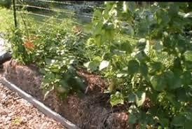 hay bale straw bale gardening growing vegetables in hay bales
