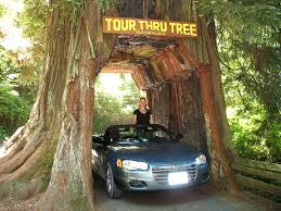 Chandelier Tree California Drive Through A Redwood
