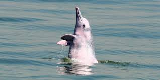 bbc travel the last of the pink dolphins