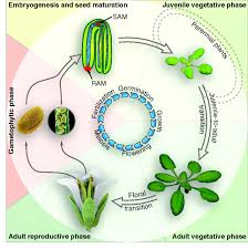 the control of developmental phase transitions in plants development